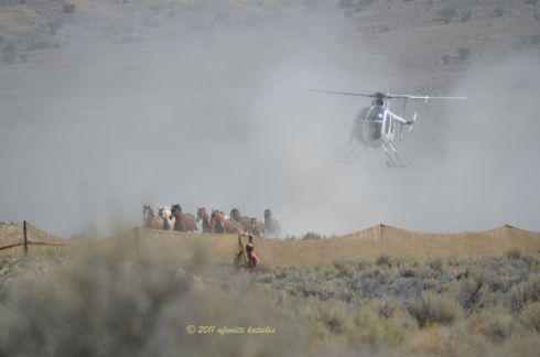 The third band, 8 horses and one foal, running hard at the trap site.