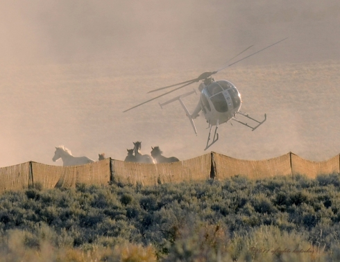 HELL-A-CHOPPER rounds up wild horses at Triple B, Newark Valley