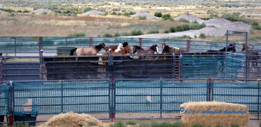 The Stallion Pen: Lion Controlled them all in the temp holding pen Triple B HMA August 24, 2011 ©2011 afroditi katsikis