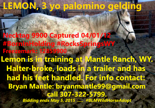 Sex: Gelding   Age: 3 Years   Height (in hands): Necktag #: 9900      Date Captured: 04/01/12 Color: Palomino   Captured: Born in a Holding Facility Number of Bids: 0 Opening Bid: $125.00 Bid information accurate as of May 3rd, 2015 12:57:20 AM MDT